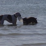 Dogs playing in ocean